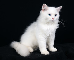 sold (Lucky Cat Cattery) Tags: blue cats white eye beautiful wonderful point happy nice kitten sad sweet gr