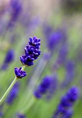 17 July 2010 (Copperhobnob) Tags: flowers summer plants macro green flora pretty purple bokeh lavender explore