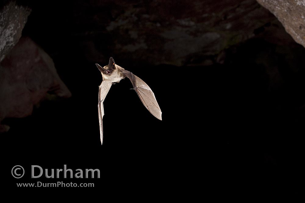 western long-eared bat