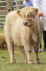 The Highland Calf (keepinsidethelines) Tags: highlandcalf rarebreeds wealdanddownlandmuseum