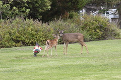 fawn and mom in cemetery (AmyKay1974) Tags: montereybay deer pacificgrove pacificgrovecemetary