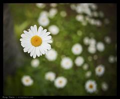 _7014050 copy (mingthein) Tags: summer blur flower macro nature japan closeup zeiss nikon bokeh availablelight smooth carl ming niseko distagon 282 zf onn thein d700 zf2 photohorologer mingtheincom