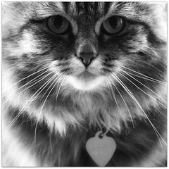 Kool For Kats (Samantha Nicol Art Photography) Tags: portrait pet white black detail animal cat fur nose eyes nikon fluffy samantha nicol
