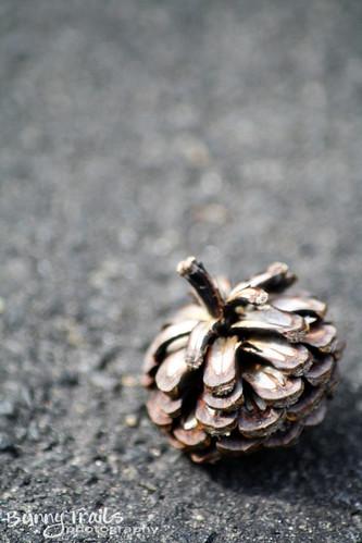 200-pinecone