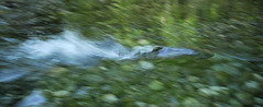 Fast chum (Fish as art) Tags: fish motion speed swimming swim photography movement fishing action salmon pescado biology pesca zoology northpacific saumon lachs chumsalmon fishart endangeredspeciesact salmonrivers ketasalmon pacificcoastalstreams fishesofalaska canadiansalmonstocks