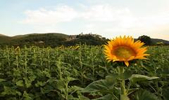 Vi porgo un girasole (FrancesKO (I like to move it move it)) Tags: verde giallo sunflower campo umbria girasoli paesi anticonformista