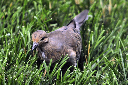 juv mourning dove 2