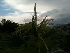 IMG_0964 (max.takaki) Tags: summer green japan corn sommer july agriculture  nara  maize asuka