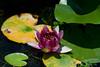 Flower, Water lilies (nekonomania) Tags: kyoto reddishpurple kyotobotanicalgarden