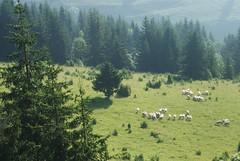He maketh me to lie down in green pastures (kosova cajun) Tags: landscape highlands sheep pasture kosova kosovo dele kosovë rugova peisazh bogë rugovë bjeshkëtenemuna accursedmountains bjeshkë albanianalps alpetshqiptare psalm23series