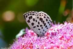 淡青雀斑小灰蝶