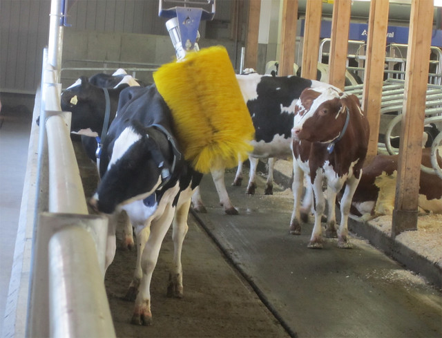 One of the cows checks out the automatic brush
