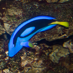 BW655 Tropical Fish (listentoreason) Tags: blue usa fish color nature animal closeup museum america canon aquarium newjersey unitedstates camden favorites places unknown animalia vivarium vertebrate camdenaquarium toflickr adventureaquarium chordate chordata osteichthyes ef28135mmf3556isusm score30 unknownfish bonyfish fishidentification animalidentification