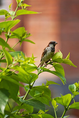 The Lookout (yadavop) Tags: bird nature garden nikon bokeh sparrow opsphotos d80 nikon70300mmvr