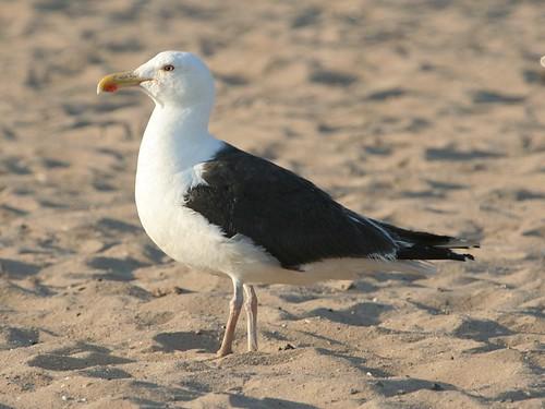 Great Black-backed Gull; Larus marinus