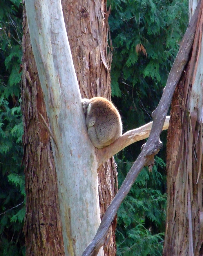 koala been bad