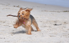 Misa (syzygial) Tags: beach yorkie yorkshireterrier fetch misa