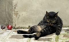 et ça vous chat-ouille ou ça vous gratouille (lachaisetriste) Tags: portrait paris animal nikon toilette montmartre cha cour d700