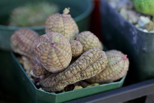 Euphorbia obesa crest