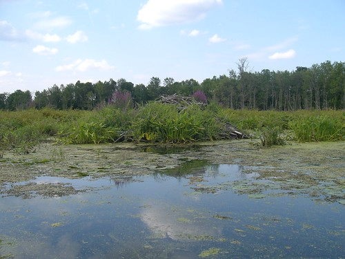 Old beaver lodge