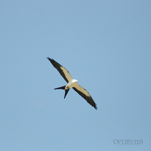Swallow-Tailed Kite 3
