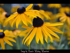 Blackeyed Beauties ! (Nana's Making ♥♥♥♥ Memories) Tags: sun flower yellow susan bokeh blackeyed nikond90 flickrsfantasticflowers nanasmakingmemories