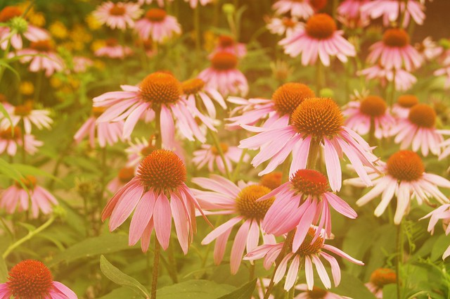 Sea of echinacea