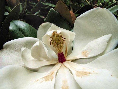 20100804-rq-01-magnolia grandiflora