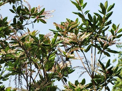 20100804-rq-10-Clethra arborea