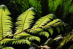 Fern (hdnport96) Tags: light plants green losangeles nikon ferns labreatarpits d40 mywinners anawesomeshot