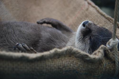 フリー写真素材, 動物, 哺乳類, イタチ科, カワウソ, 寝顔・寝ている,