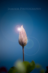 Lens Flare (Jamoor) Tags: flower macro clematis bluesky lensflare markjames clematisbud nikon105mmmacro macrolife nikond300 jamoor