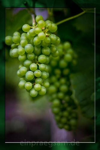 Weintrauben auf dem Hanstein - rebenslustig