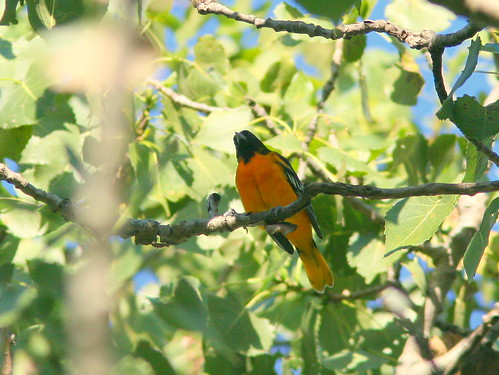 Baltimore Oriole 20100812