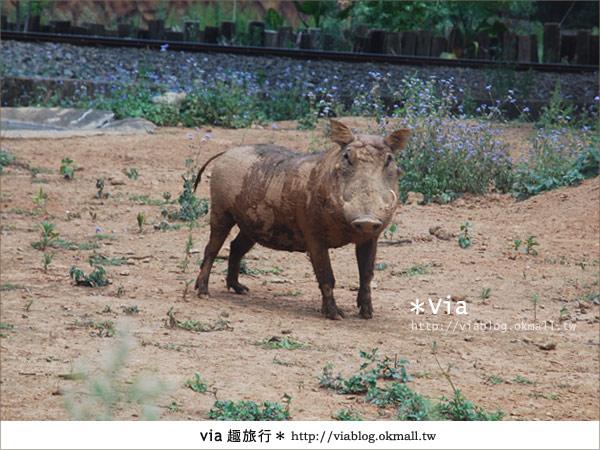 【關西六福莊】精彩秘探野生動物園/DIY手作/農趣樂~!31