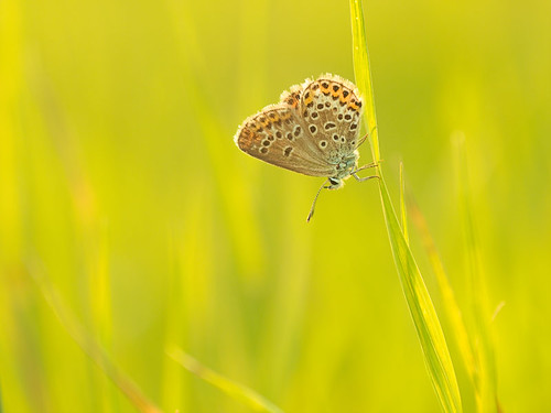schmetterling in wiese by zoomyboy.com, on Flickr