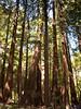 Redwoods (deltaMike) Tags: trees muirwoods schnivic nationalmonument focallength18mm nikond90 iso450 deltamike lens18200mmf3556 flashstatusflashfired exposure160secatf35 081410 dsc5822nef