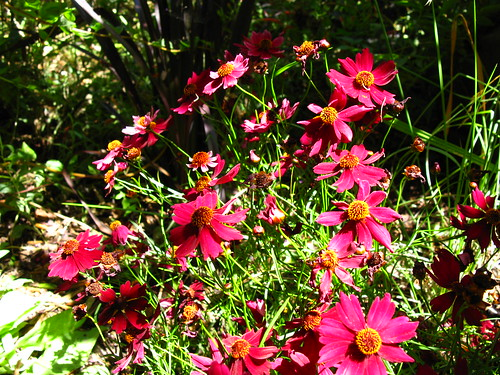 Come coreopsis