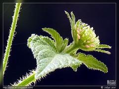 venez --- venez | come --- come | Komm --- Komm | venga --- venga (Rached MILADI - ) Tags: macro fleur plante flickr couleurs awesome vert tableau paysage better printemps fz hdr tunisie 38  lantanacamara cologie  inthemood rached  anawesomeshot estremit miladi  rachedmiladi  fz38 dmcfz38 thdegambie