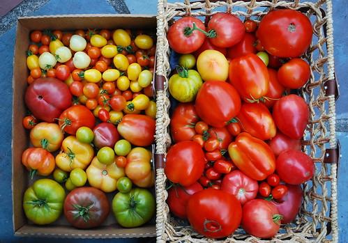 Mid August Tomato Harvest 4