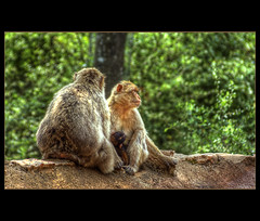 La Foret Des Singes ~ Family Love II (@fotovi) Tags: family love monkey wildlife midi foret hdr pyrenees rocamadour signes ©ivoverbruggen2010