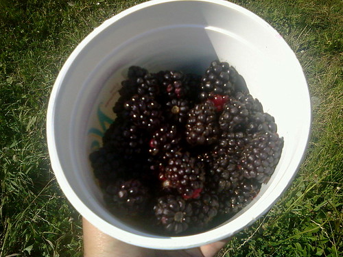 gleaning the marionberries
