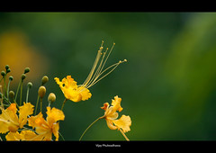 Contrast.. (Vijay..) Tags: vijay flower green nature yellow contrast canon garden zoom bokeh telephoto bulbs nagpur 70300 450d phulwadhawa