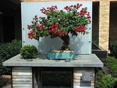 IMG_6778 (bintie) Tags: bougainvillea bonsai chicagobotanicgarden