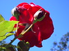 ROSA,LINDA ROSA!! (Ricardo Venerando) Tags: flowers red flower nature colors rose brasil garden saopaulo natureza explore abc soe naturesfinest conservacion platinumphoto diamondclassphotographer ysplix grandeabc goldstaraward