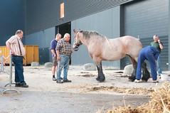 DSC_4821-377 (Ton van der Weerden) Tags: horses horse de cheval van der nederlands belges ton draft 2010 shertogenbosch chevaux tentoonstelling nationale someren belgisch trait trekpaard trekpaarden weerden nationaletentoonstelling2010