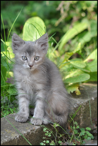gray kitty