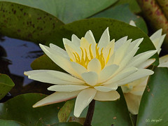 Water Lily (JacquiTnature) Tags: flower nature yellow pond waterlily lily waterflower waterplant botony pondplant