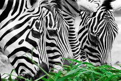 Color Key Week  Zebras pleasure (Sprengben [why not get a friend]) Tags: world china city wedding summer sky blackandwhite music newyork paris art monochrome japan skyline clouds contrast skyscraper observation hongkong zoo tokyo bay harbor amazing rainbow nikon singapore asia ship artistic gorgeous awesome watch hamburg elevator style divine international zebra stunning metropolis charming foreign fabulous hdr englandlondon colorkey engaging travelphotography galope d90 photomatix specanimal mywinners travellight d3s bestofmywinners wwwsprengbendewwwflickrcomphotossprengben sprengbenurban