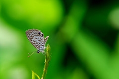 Cassius Blue (roblunetta) Tags: macro nature butterfly insect nikon florida bokeh creative d200 moment cassiusblue creativemoment
